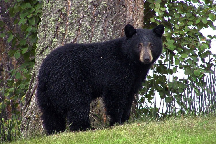 A Black Bear - Grand Mesa National Forest is home to many of these