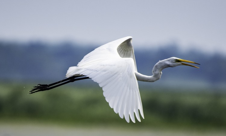 Great white egret in flight - a somewhat common resident of Sierra National Forest