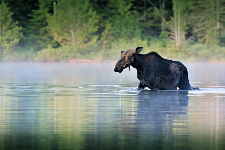 A moose wading in a lake - moose are one of the largest species in Roosevelt National Forest