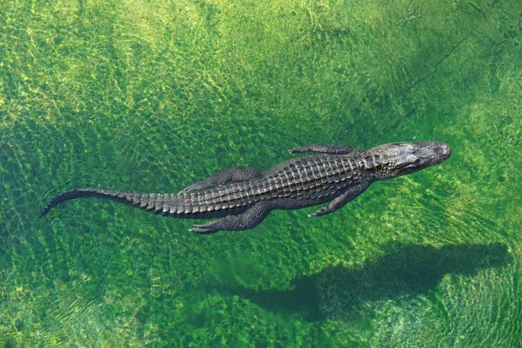 A swimming alligator viewed from above