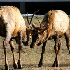 Stalked by not so wild elk