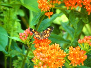 Silvery checkerspot nectaring on milkweed