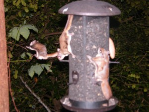 Southern flying squirrels at the feeder