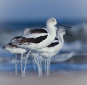 American avocet in winter plumage - wikimedia commons photo