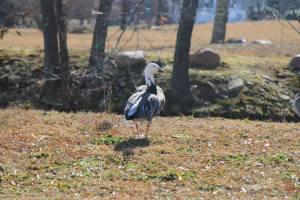 Blue-phase snow goose. Chris Bogardus photo