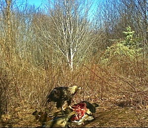 Golden eagle caught on trail-cam @ Purchase Knob, Haywood County, NC