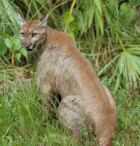 Florida panther - USFWS photo