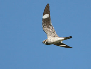 Common nighthawk - creative commons photo