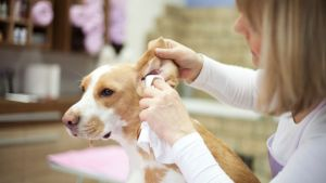 cleaning dog ear infection