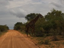 A giraffe Giraffa camelopardalis in Kruger National Park in South Africa Photo Credit Zack Neher
