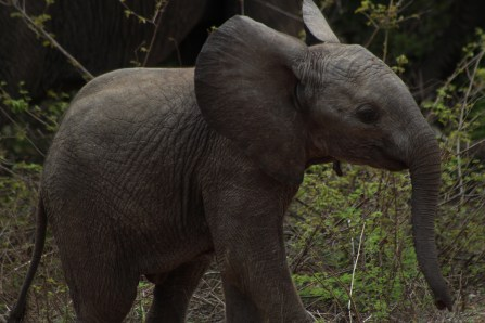 This picture of a baby African elephant (Loxodonta africana) I got in Kruger National Park in South Africa. We got lucky enough to see small groups of elephants several times throughout the day!