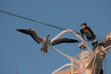 An adult red-footed booby (Sula sula) lands on the mast of the MV World Odyssey, next to a juvenile of the same species, in the Pacific Ocean on Semester at Sea.