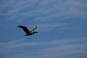 20 A brown pelican Pelecanus occidentalis flying above the beaches of Hilton Head Island in South Carolina Photo Credit Zack Neher
