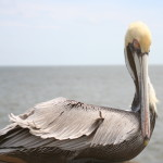 Pelican sitting on the railing at the Pier - St Simons Island GA 2014