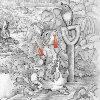 Black and white Peter Rabbit eats orange carrots in a vegetable garden