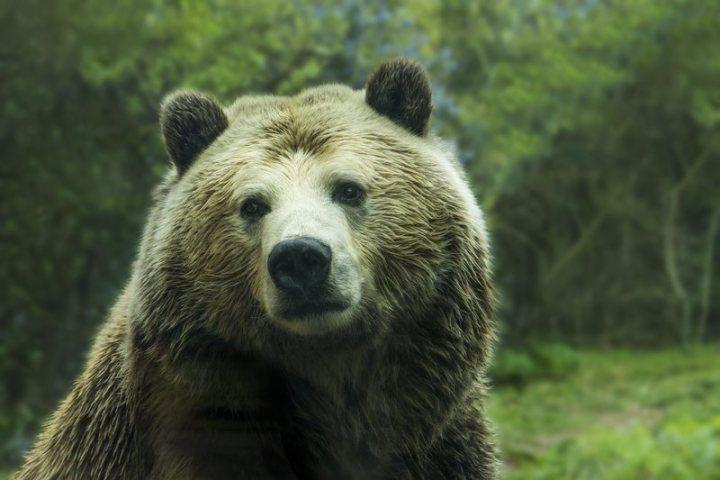 Grizzly_Bear_optimized.jpg