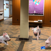 Pigs Running Loose In Walsh After Student Sets Pigs Loose In Walsh