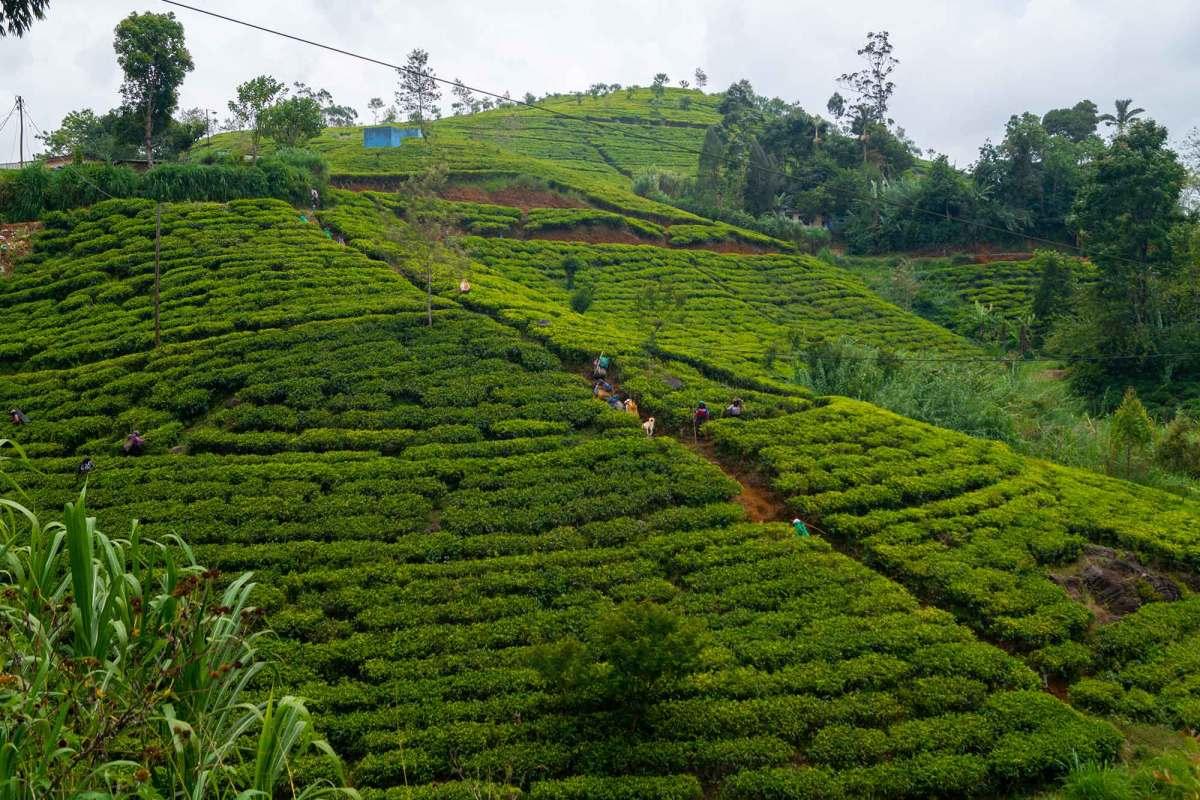 Theeplantage Sri Lanka