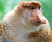 proboscis-monkey-the-nose-knows