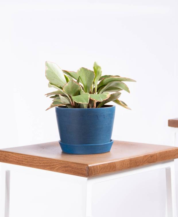 bloomscape-product-peperomia-ginny-indigo