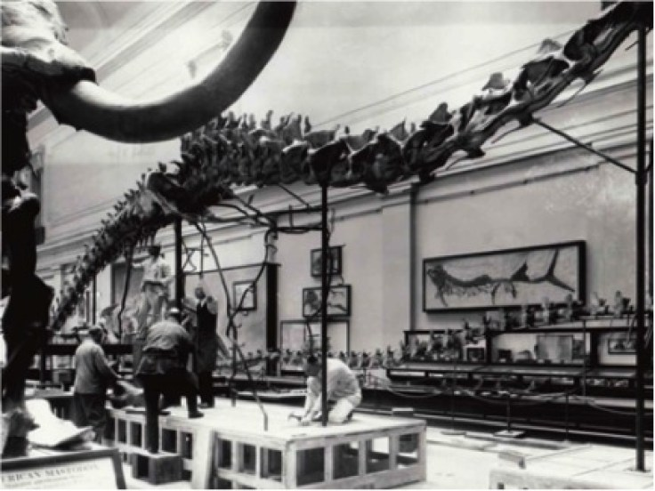 "Installing Diplodocus with Xiphactinus in Background in the ""Hall of Extinct Monsters."" (Smithsonian Historical Photo)"