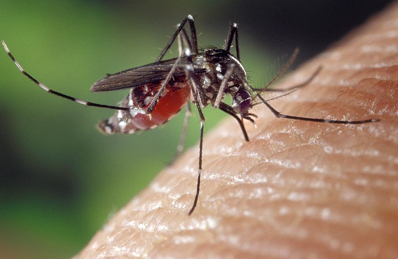 Aedes albopictus or Asian tiger mosquito larvae are found in water-holding containers around the home and yard. They occur in all Florida counties except Monroe. They're a vector of dengue and chikungunya viruses. (CDC photo)