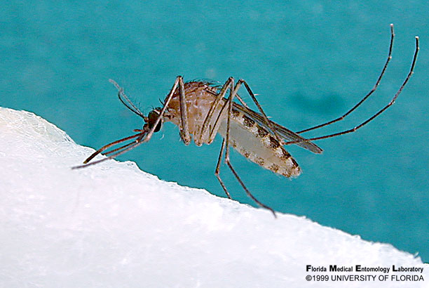 Culex nigripalpus larvae are found in ditches, containers, grassy pools, dairy lagoons, and furrows in citrus groves throughout the state. They are a vector of dog heartworm, St. Louis encephalitis, and West Nile virus. (University of Florida photo)