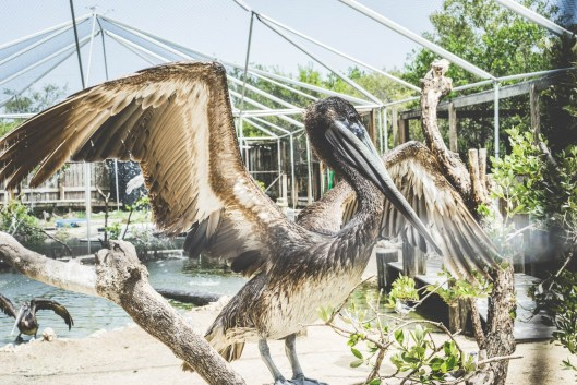 An injured pelican gets back to flying condition at the Florida Keys Wild Bird Rehabilitation Center.