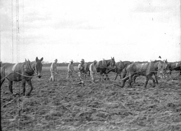 Raiford Prison inmates plowing a field in 1927. (Courtesy of State Archives of Florida, Florida Memory.)