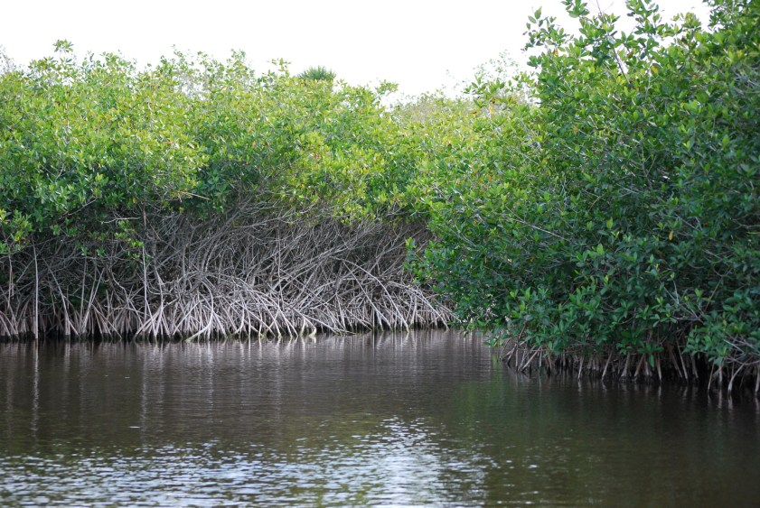 Mangroves (Courtesy of Pat (Cletch) Williams/Flickr Creative Commons)