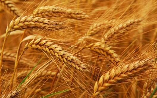 Wheat reached British mainland 8000 years ago