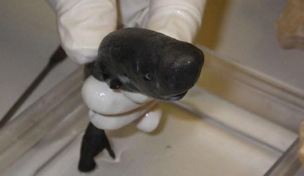 pocket-shark