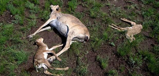 dead-antelopes-khazaksthan