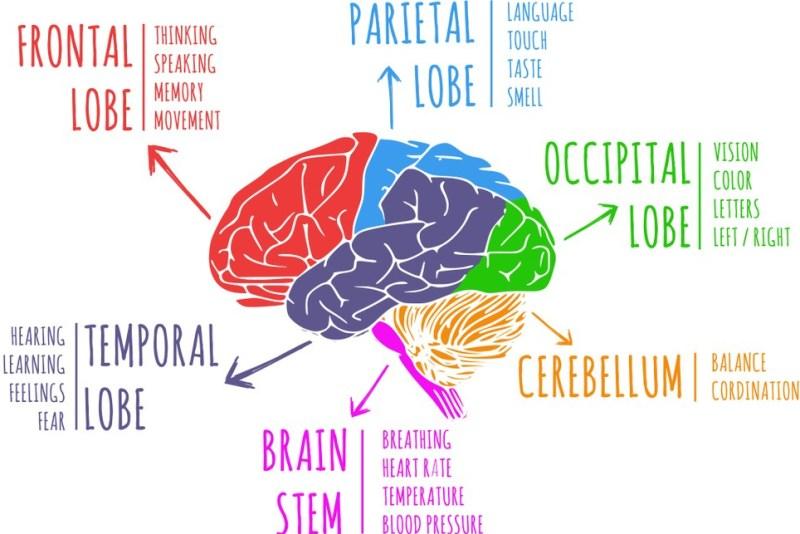 Brain Function (2)