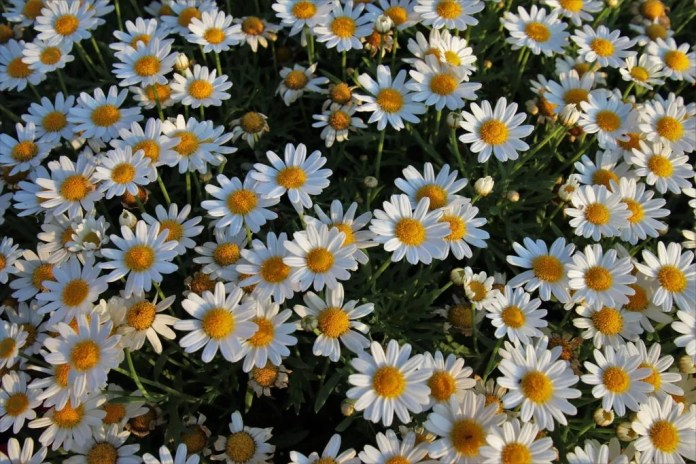 Chamomile can help you relax and sleep