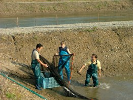 Packing away the seine net after my first nisai mud pond harvest.