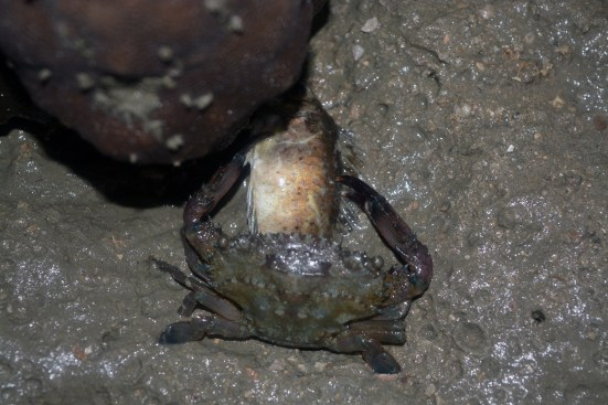 Crab having dinner. Or... interspecies copulation - Tuba Island