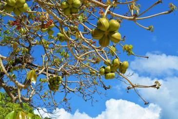 Hanging balls fruit, on Cadlao Island