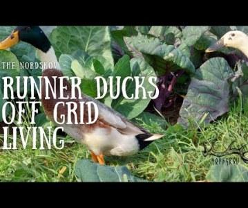 Runner ducks | Off grid living