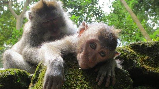 monkey forest ubud,monkey forest bali entrance fee, monkey sanctuary in bali