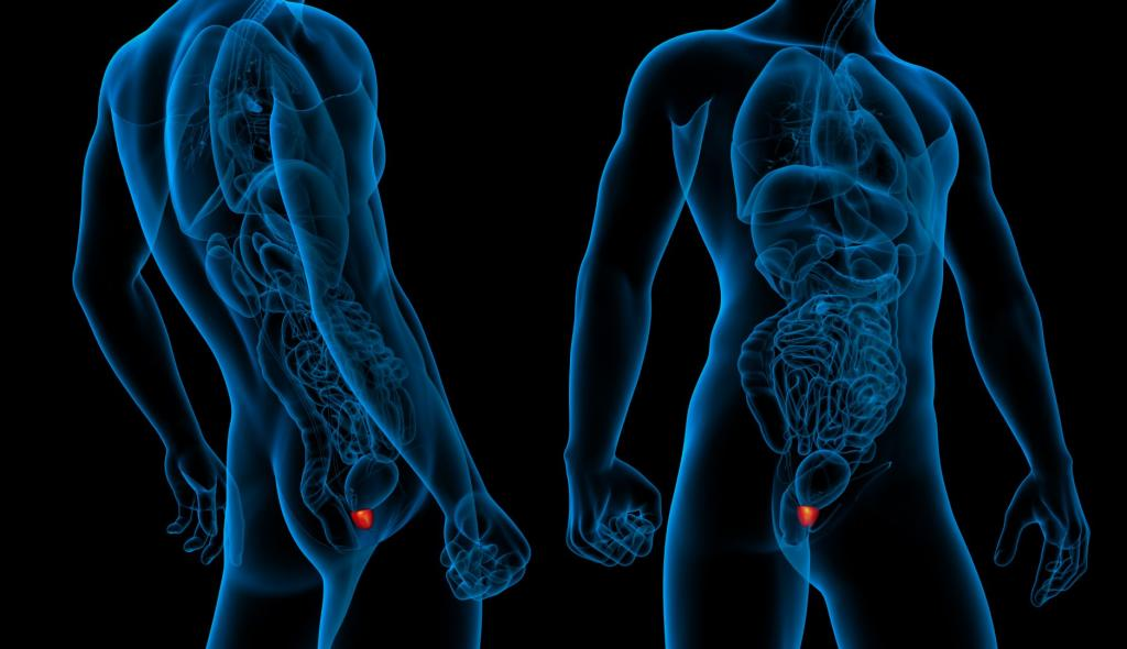 3d Male Prostate Highlight
