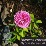 Baronne Prevost -- Historical Rose at North Star House