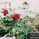 Paul's Scarlet Rambler - Historical Rose