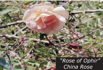 The North Star House Grass Valley heritage rose