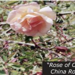 Rose of China on Historic North Star House Grounds