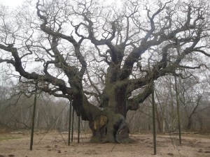 Major Oak