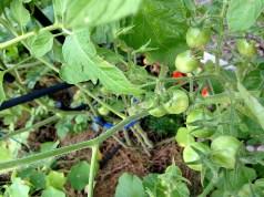 Grape tomato plant