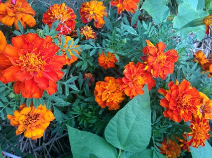 Can never have enough marigold scattered among the beds
