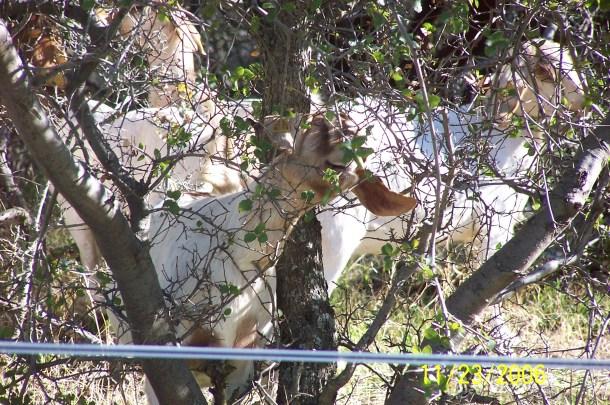 Goats and Turkey TJ 014