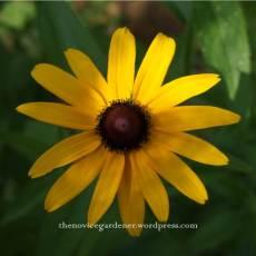 rudbeckia indian summer